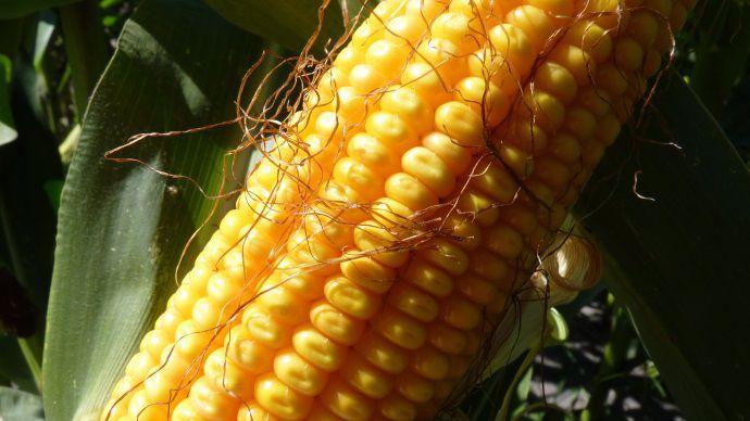 image Variétés de maïs